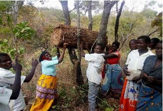 Several women from the ALP in Mapango hang a beehive in a tree for their beekeeping initiative