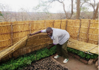 Man in Malawi ALP lifts straw covering to show a row of seedlings growing underneath.