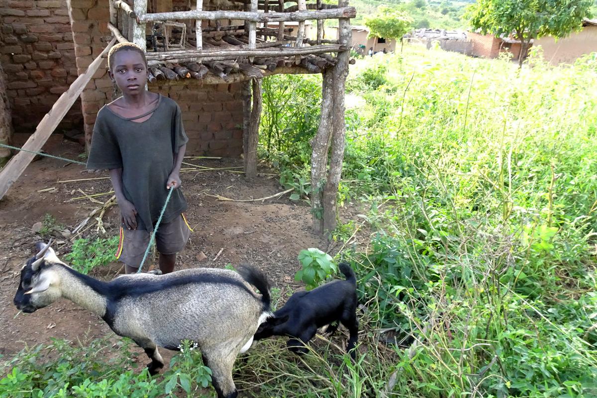 malawi-goats